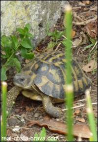 Tortoise Alt Emporda Costa Brava